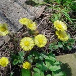 Coltsfoot Flowers, Photo by GW
