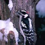 Downy Woodpecker; E.R. Deggiger/Color+Pic, Inc.