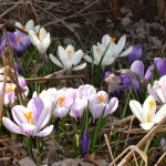 Crocus, Photo by GW