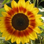 Sunflower photo by the Garden Witch