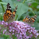 Painted Lady Butterflies/Garden Witch Photo