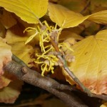 Witchhazel is blooming now/Garden Witch photo